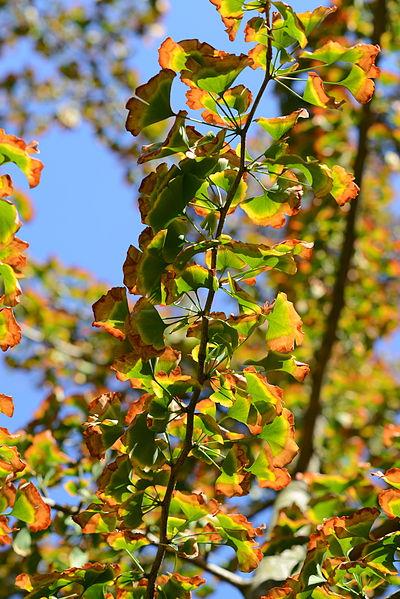 400px-gingko_biloba_leaves_in_september