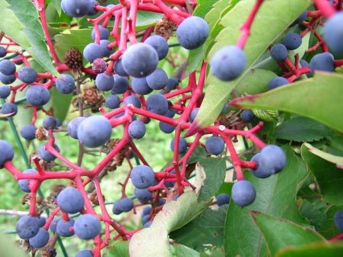 berry-bush-cinqueterre